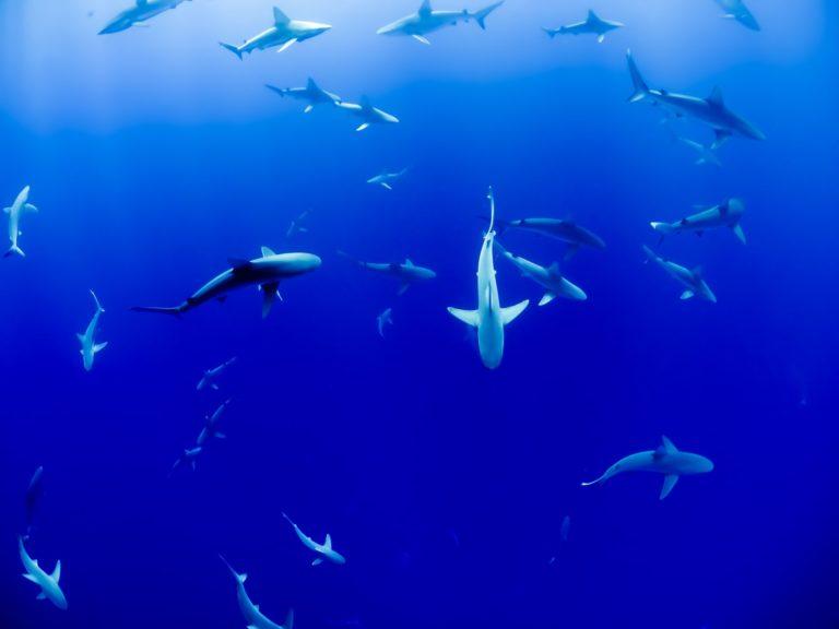 L'attrait du tourisme de la plongée avec les requins